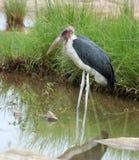 Marabou stork; Leptoptilos crumeniferus Stock Photos