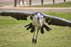 Marabou Stork (Leptoptilos stork) Stock Photo