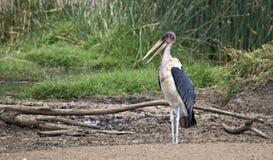 Marabou stork Royalty Free Stock Images