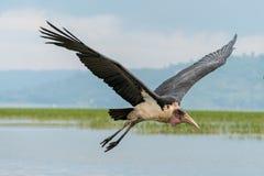 Marabou Stork in mid flight Royalty Free Stock Image