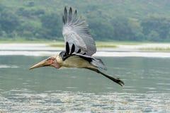 Marabou Stork in mid flight Stock Image