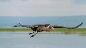 Marabou Stork in mid flight Stock Photography