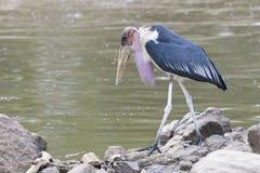 Marabou stork near river Royalty Free Stock Photography