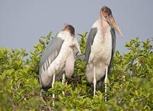 Marabou stork at nest. Africa  Botswana. marabou stork at nest Stock Photos