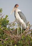 Marabou stork at nest. Stock Image