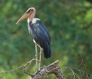 Free Marabou Stork Perched Stock Photography - 77437342