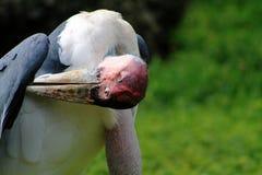 Marabou stork portrait Stock Photo