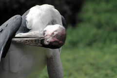 Marabou stork portrait Royalty Free Stock Photo