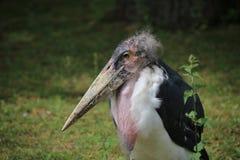 Marabou Stork Portrait Royalty Free Stock Photos