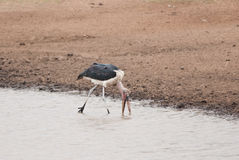Marabou. Stork searching for food in a lake in savannah Stock Photography