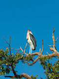 Marabou Stork sitting on a branch against the blue Stock Image
