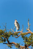 Marabou Stork sitting on a branch against the blue Stock Photography