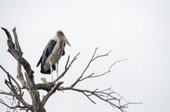 Marabou stork Royalty Free Stock Photography