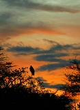 Marabou stork sleeping on the tree branch Stock Image
