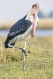 Marabou stork standing on one leg Stock Images