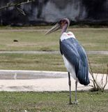 Marabou stork standing watch over his water hole royalty free stock photography