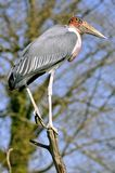 Marabou stork in tree Royalty Free Stock Image