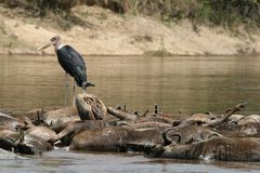 Marabou stork and vulture on drowned wildebeest Stock Image