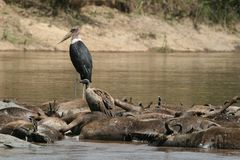 Marabou stork and vulture on drowned wildebeest. Marabou stork (Leptoptilos crumeniferus) and Rüppell's griffon vulture (Gyps rueppellii) on drowned Royalty Free Stock Image