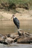 Marabou stork and vulture on drowned wildebeest Stock Photos