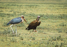 Marabou stork and vulture Stock Images