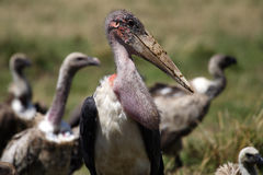 Marabou stork with vultures Stock Photography