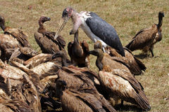Marabou stork with vultures on a zebra carcase Stock Images