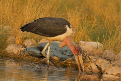 Marabou stork wading in shallow water Royalty Free Stock Images