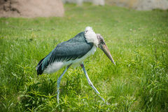 Marabou stork Walking. Alone in the tall green grassland Royalty Free Stock Image