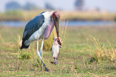 Marabou stork walking with fish Stock Photography