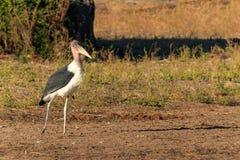 Marabou stork walking riverside Africa Stock Photo