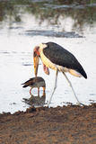 Marabou stork walking in the shallow water Stock Images