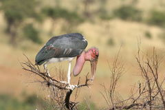 Marabou Stork. The Stork was sitting in a tree late afternoon in the Pilansberg Nat Park Royalty Free Stock Photos