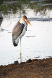 Marabou stork in the water Stock Photos