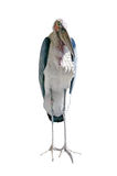 Marabou stork Royalty Free Stock Photography