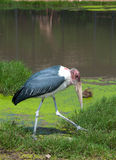 Marabou Stork in zoo Royalty Free Stock Photos
