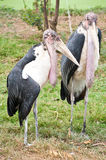 Marabou Storks Stock Photography