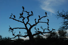 Marabou storks at dawn in Serengeti, Tanzania Royalty Free Stock Photo