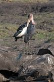 Marabou storks eat the carcass of a dead elephant, Moremi Game R. Eserve, Botswana stock photography