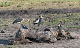 Marabou storks eat the carcass of a dead elephant, Moremi Game R. Eserve, Botswana stock photo