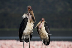 Marabou storks in front of Nakuru flamingos Royalty Free Stock Photos