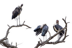 Marabou storks in Kruger National park Royalty Free Stock Image