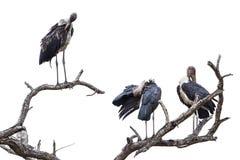 Marabou storks in Kruger National park Royalty Free Stock Image