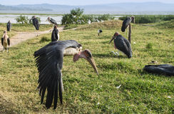 Marabou storks on Lake Hawassa Royalty Free Stock Photo