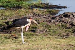 Marabou storks Stock Images