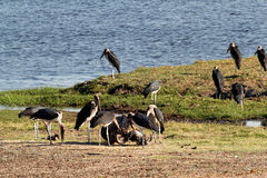 Marabou storks Stock Photos