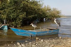 Marabou storks (Leptoptilos crumeniferus) and fisheman boat Stock Photography