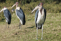 Marabou storks Royalty Free Stock Images