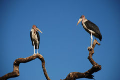 Marabou storks Stock Photo