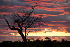 Marabou Storks at sunset - Botswana. A group of Marabou Storkes (Leptoptilos crumeniferus) roosting in a dead tree at sunset in the Chobe River area of Botswana Stock Images